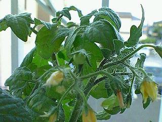 Tomato070620_1